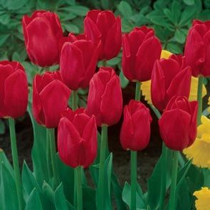 Red Dynasty™ Tulip