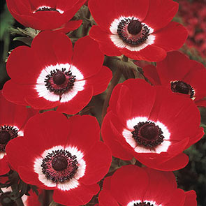 Poppy Anemone Hollandia