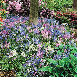 English Wood Hyacinth Mixture