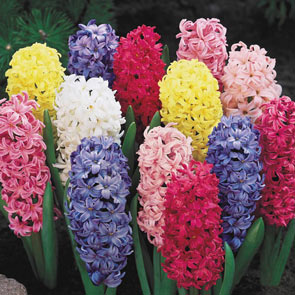Giant Hyacinth Mixture