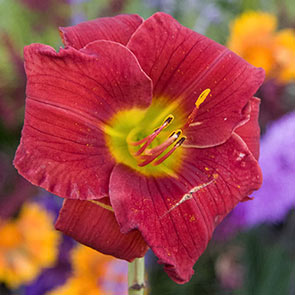 Funny Valentine Reblooming Daylily