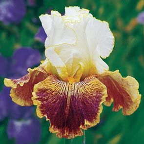 Sordid Lives Bearded Iris
