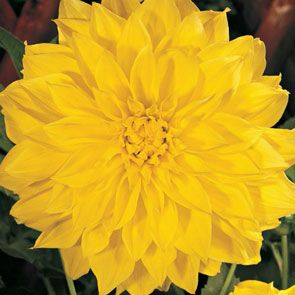Classic Dinnerplate Dahlia Collection