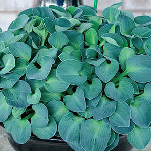 Mini Mouse Hostas