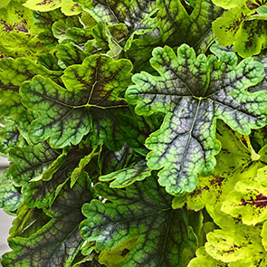 Trailing Tapestry™ Heucherella Collection
