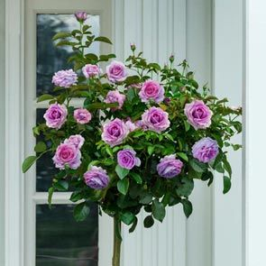 "Violet's Pride 24"" Patio Tree Rose"