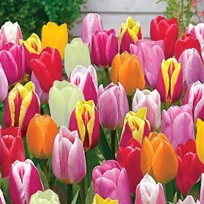 Improved Perennial Tulip Mixture