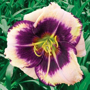 King of Masks Reblooming Daylily