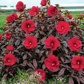 Breck's® Exotic Hibiscus Collection