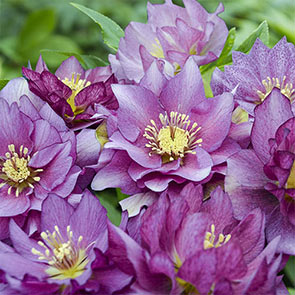 Double Hellebores Wedding Party™ Collection