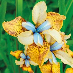 Flying Fiddles Siberian Iris