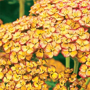 Rainbow Yarrow Collection