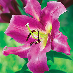 Ultimate Lily Tree®Collection