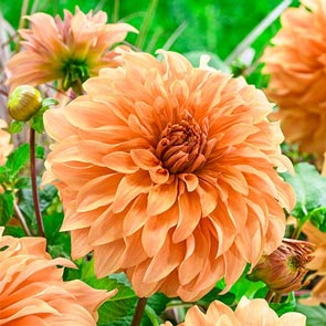 Spartacus Orange Dahlia