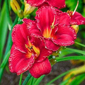 South Street Reblooming Daylily