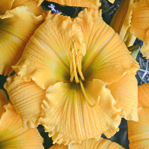 Fragrant Daylily Collection