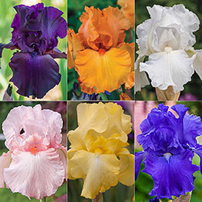 Solid-Colour Bearded Iris Collection