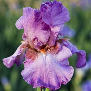 Jennifer Rebecca Reblooming Bearded Iris