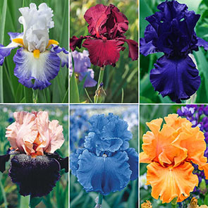 Showtime Bearded Iris Collection