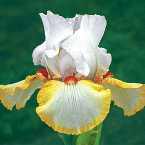 Halloween Halo Reblooming Bearded Iris