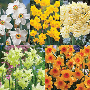 Most Fragrant Daffodil Collection
