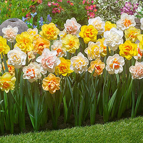 2 Months of Double Daffodil Mixture