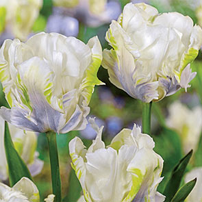 White Lizard Tulip