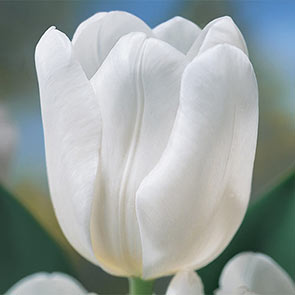 The Ice Princess Tulip