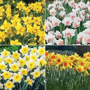 Amazing Naturalizing Daffodil Collection