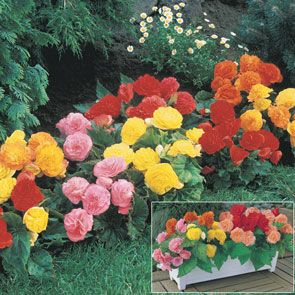 Everblooming Begonia Mixture