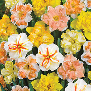 Daffodil Butterfly Mixture