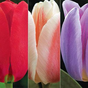 Forever Spring Tulip Collection