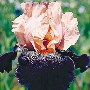 Wench Tall Bearded Iris