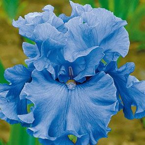 Merchant Marine Bearded Iris