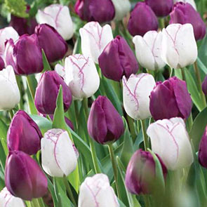 Triumph Tulip Purple Perfection Duo