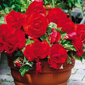 Superba Low Growing Double Begonia Collection