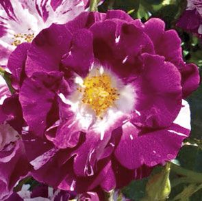 Purple Splash™ Climbing Rose