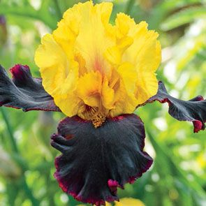 Vigilante Tall Bearded Iris