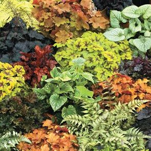 Heuchera Mixture Super Sak®