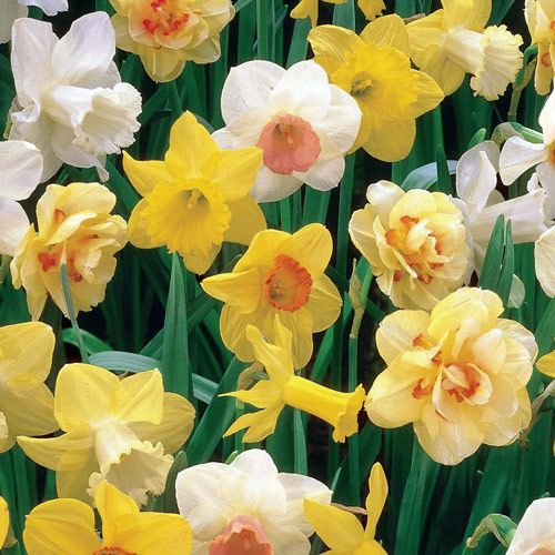 Shop 3 Months Of Daffodils Breck S