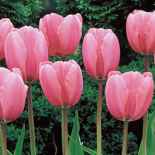 Shop WOW Perennial Tulip Collection at Breck's