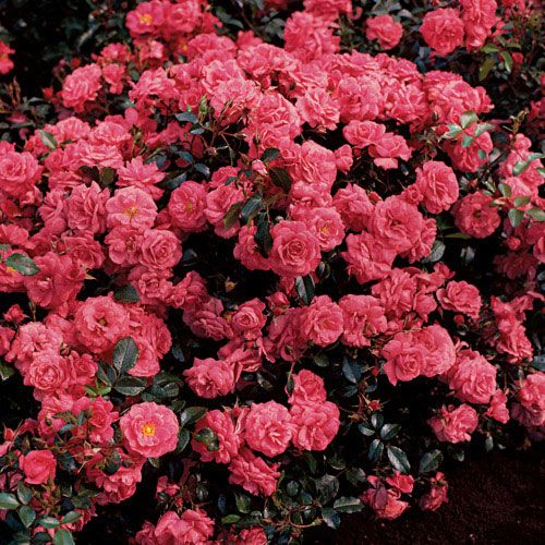 Electric Blanket  Groundcover Rose