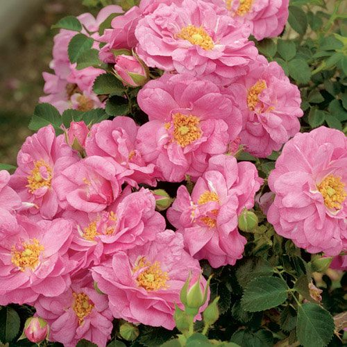 Cape Diamond™ Shrub Rose
