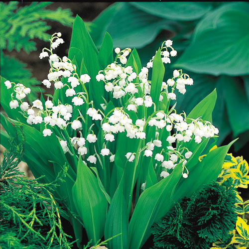 Lily Of The Valley Bulbs Breck S