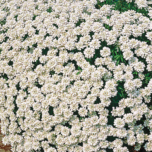 Snowflake Evergreen Candytuft
