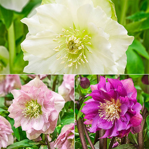 Buy Double Flowered Wow Hellebore Collection Breck S