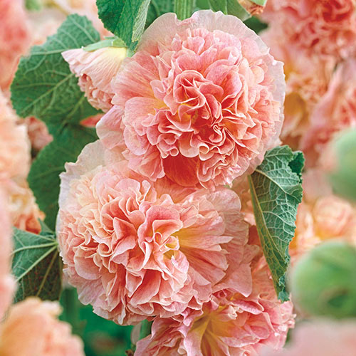 Peaches N Dreams Double Hollyhock