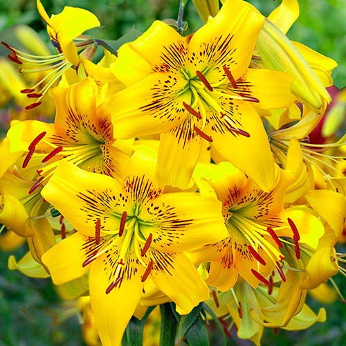 Yellow Bruse Tiger Lily Save Up To 75 Breck S