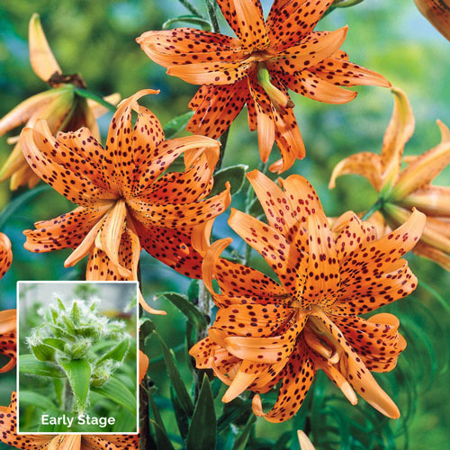 Double Tiger Lily Breck S