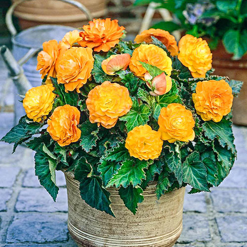 Apricot Nonstop Begonia Breck S